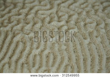 An Underwater Macro Photo Of A Brain Coral.  Corals Are Marine Invertebrates Within The Class Anthoz