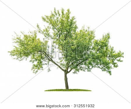 Isolated Tree On A White Background - Prunus Domestica - Plum Tree