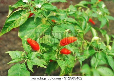 Capsicum Frutescens L. Chilli Pepper.chili Has Anti-oxidants, Helps Slow Down Aging.with Clipping Pa