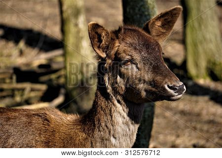 Close Up Of The Face Of A Female Fallow Deer