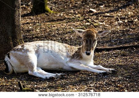 Female Fellow Deer In The Forest Lying On The Floor And Resting