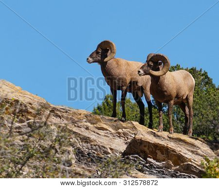 Two Big Horn Rams Standing Together On A Rock Outcropping. A Blue Sky, And Green Foliage Add Color I