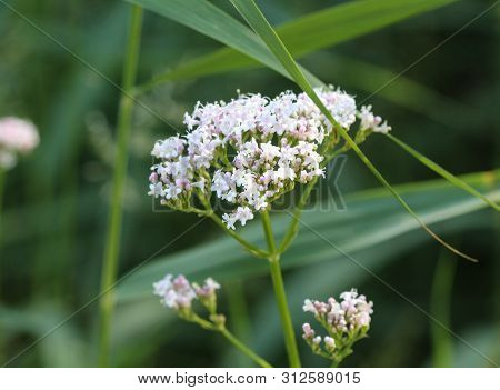 Marsh Valerian Or Valeriana Dioica, Blooming In Spring