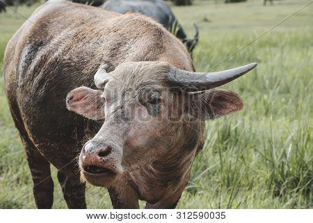 Asian Water Buffalo On The Grassland.