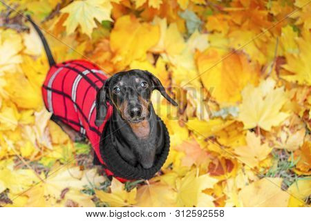 Top View  Portrait Of A Dachshund Dog, Black And Tan, In A Red Sweater Stands On The Ground Full Of
