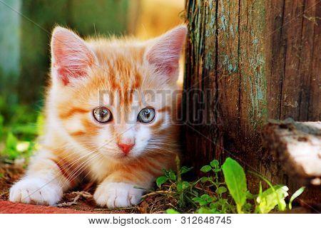Cute Little Red Kitten Playing Outdoor. Portrait Of Red Kitten In Forest Or Garden Looking Interesti