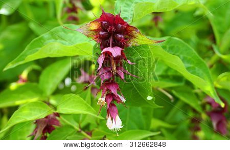 Himalayan Honeysuckle Showy And Bright Flowers And  Green Foliage. Other Names Leycesteria Formosa,