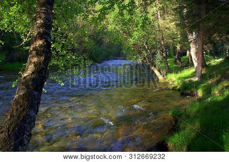 Clean and turbulent mountain river flowing through the forest, along the tall trees on the shore. Altai, Siberia, Russia. poster