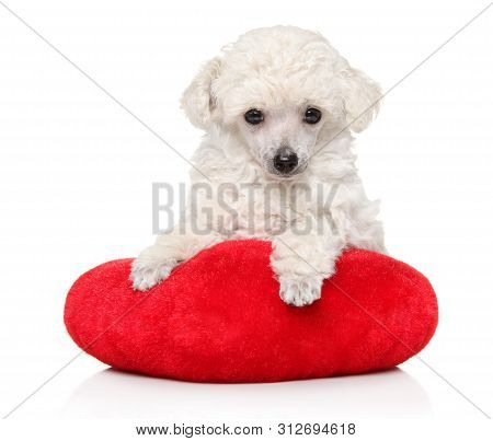 White Toy Poodle Puppy Lying On Red Pillow On White Background. Baby Animal Theme