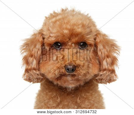 Close-up Portrait Of A Toy Poodle Puppy On White Background