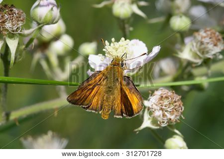 Large Skipper Butterfly Feeding In The Summer Sunshine.
