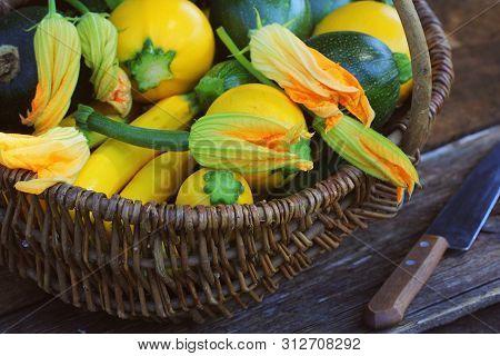 Harvesting Zucchini. Fresh Squash Lying In Basket. Fresh Squash Picked From The Garden. Organic Food