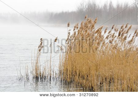 Common Reed (Phragmites) In The River On Foggy Morning