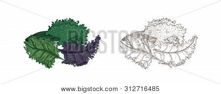 Set Of Elegant Colorful And Monochrome Drawings Of Kale Or Leaf Cabbage. Fresh Organic Raw Vegetable