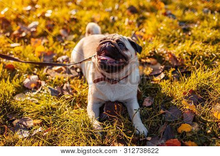 Master Walking Pug Dog In Autumn Park. Happy Puppy Sitting On Grass. Dog Resting