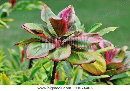 Ti Plants, Also Called Palm Lily
