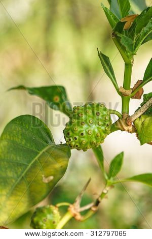 Fresh Noni, Great Morinda, Tahitian Noni, Or Indian Mulberry Are On Branch And Green Background.