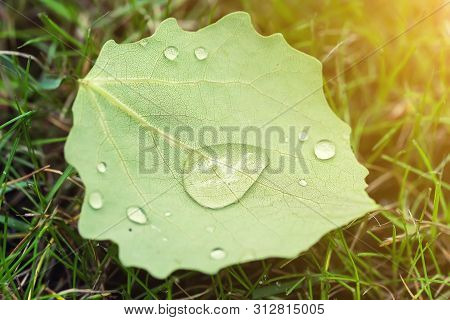 Close-up Fallen Leave With Big Water Drops Of Dew Or After Rain On Green Grass Lawm. First Fallen Le