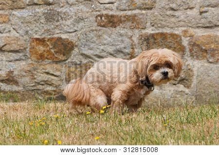 Lhasa Apso Dog Making Poop In A Garden