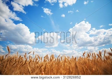 Yellow wheat field on the blue sky and white clouds background. Countryside view. Freedom and carefree concept. Nature beauty, blue cloudy sky and colorful field with golden wheat. Beautiful summer