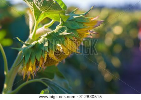 Sunflower Blooming In A Sunflower Field On A Sunny Day In Vacaville, California