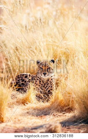 Close up of beautiful cheetah outdoor in natural environment