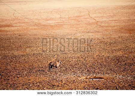 High angle view of oryx antelope near waterhole in Namib desert