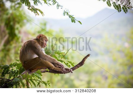 Male Monkey Sitting On A Tamarin Branch And Mountain Background.
