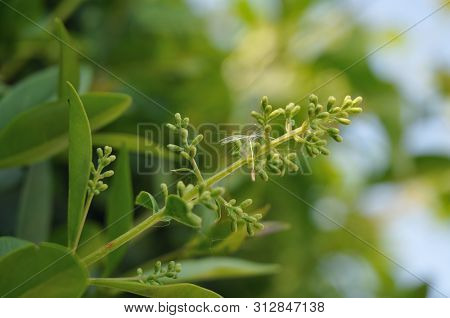 Close-up Of A Privet Inflorescence With Closed Buds And Seed Of A Dandelion Hanging In It