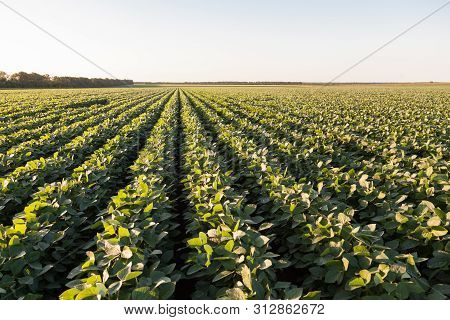 Green Ripening Soybean Field, Agricultural Landscape. Soy Plantation