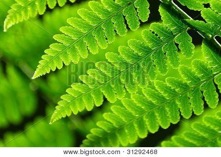 Frische grüne Farn Federblätter