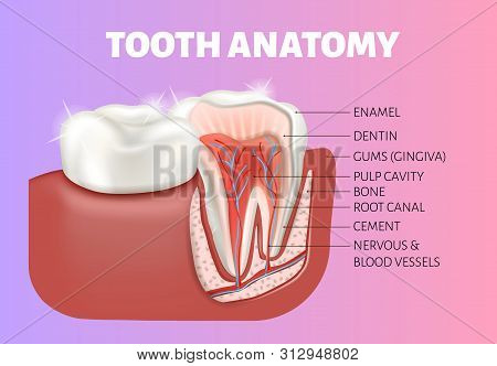 Tooth Anatomy Medical Banner. Healthy Tooth Cut.