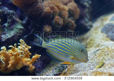 Tropical Fishdetails - Acanthurus Lineatus, Clown Tang
