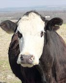 an inquisitive cow giving a long stare poster
