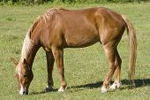 A horse grazing in an open pasture. poster