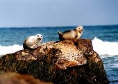 harbor seals sitting on rock poster