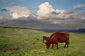 Beautiful countryside landscape across rolling hills with lovely cloud formations withh cow and calf in foreground poster