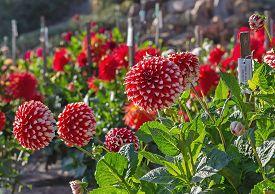 Summer Dahlia Garden With Red And White Dahlias.