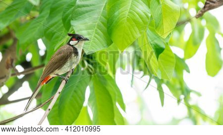 Red-whiskered Bulbul (pycnonotus Jocosus) Bird Perched On A Tree.