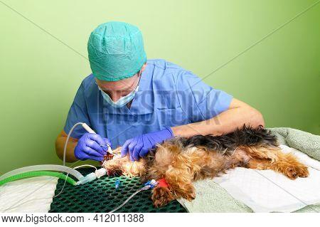 Veterinary Dentistry. Dentist Surgeon Veterinarian Treats And Removes Tartar From The Teeth Of A Dog