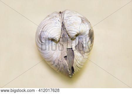 The Marine Animal Glossus (aralocardia) Abichianus Is Isolated On A Gray Background. Paleontology Ma