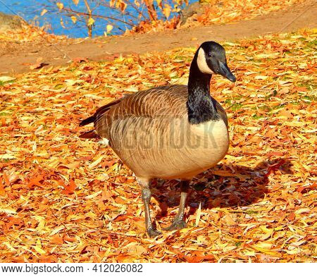 Curious Goose - A Fall Scene In October With A Canadian Goose By The Deschutes River - Pacific Park