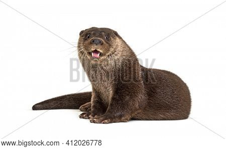 Adult european otter looking at the camera, isolated