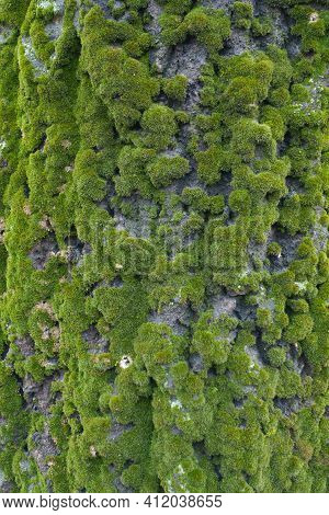 Cover Of Green Moss On Uneven Bark Of Populus Alba