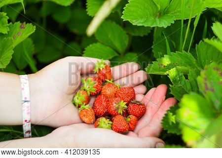 Close Up Two Hands Women Holding Freshly Picked Bright Red Strawberries In An Organic Pick-your-own
