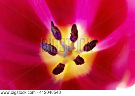 Red Pink Tulip Flower With Stamens And Pistil Close-up, Macro Photography, Floral Background, Copy S