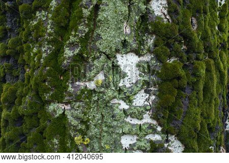 Mint Green And Yellow Lichen And Moss On Bark Of Populus Alba