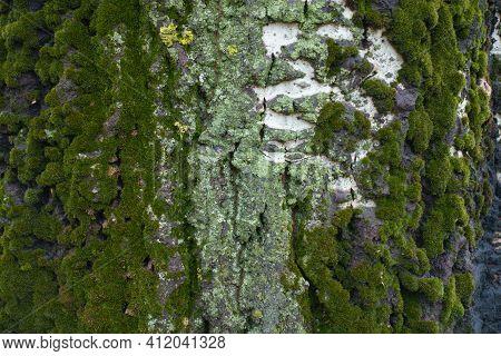 Multicolored Lichen And Moss On Gray Bark Of Populus Alba