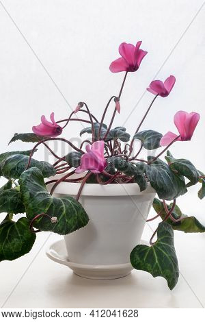 The Indoor Flower Is Cyclamen With Bright Pink Flowers Surrounded By Green Leaves On A Light Backgro