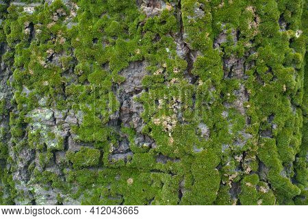 Texture Of Uneven Bark Of Populus Alba With Moss And Lichen